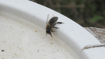 Honey bee drinks water from a Ropak lid