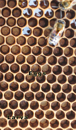Honeybee Eggs & Larvae In Cells of Drawn Comb