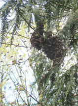 Honeybees flying to main swarm cluster in a cedar tree