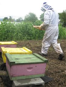 Bottom brood boxes of honeybees at Sumas River Farm