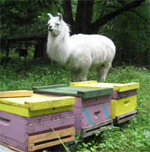 Llama and beehives together in field