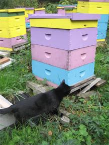 Kitten checks beehives at Brookfield Farm, Maple Falls, WA
