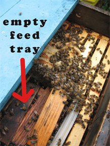 Empty feeder with bees waiting for feed