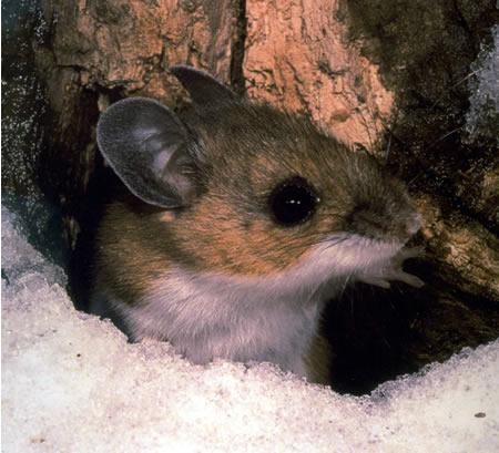 Deer mouse image courtesy of National Park Service
