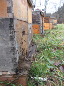 Honeybees gather at their hives front entrances