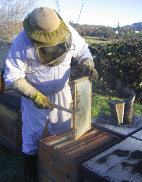 Beekeeper Ray brushes bees off a comb of honey
