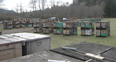 Bee Hives on pallets in holding yard waiting to be loaded