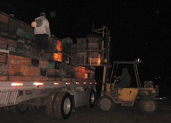Bees headed for California almond pollination being loaded at night