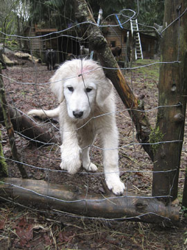 3 month old Maremma puppy checks out the gates at his new home
