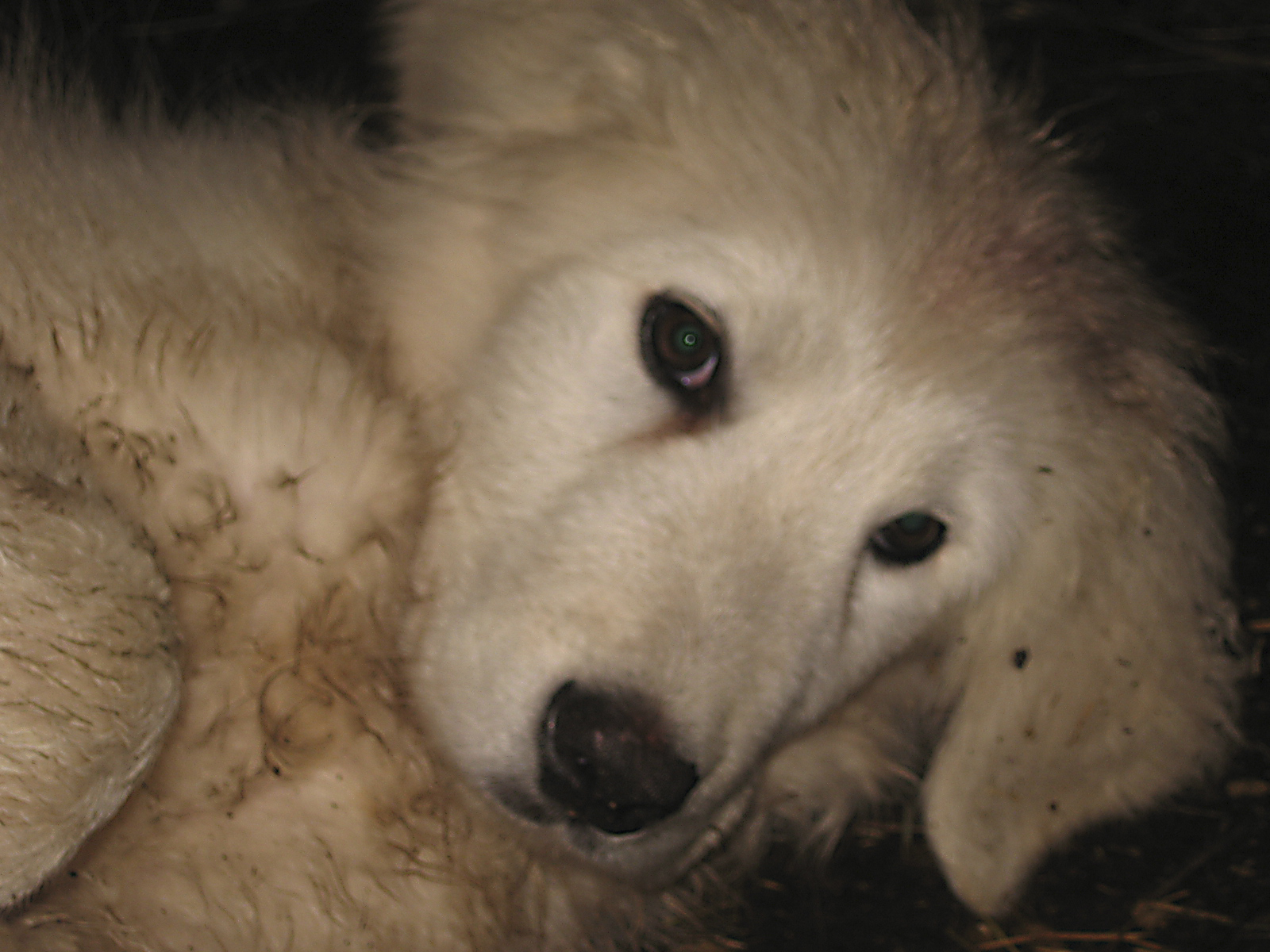 A Maremma Livestock Guard Dog pupp