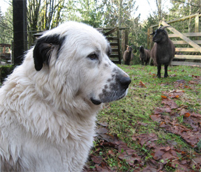 Livestock Guard Dog and Cashmere Goats, Brookfield Farm, Maple Falls, WA