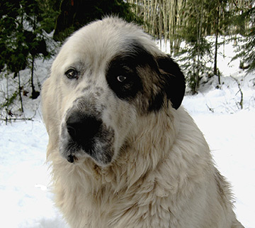 A Maremma X Great Pryanees Livestock Guard Dog