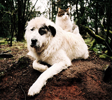 Beehive Guard Cat sits on the back of Livestock Guard Dog at Brookfield Farm, Maple Falls, WA