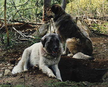 2 livestock guard dogs at Brookfield Farm Bees & Honey, Maple Falls, WA