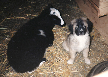 A young livestock guard dog (Maremma X  Great Pryanees) sits with a lamb at Brookfield Farm, Maple Falls, Washington