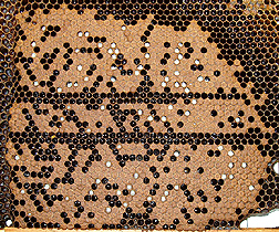 Honeybee brood comb infested with varroa mites
