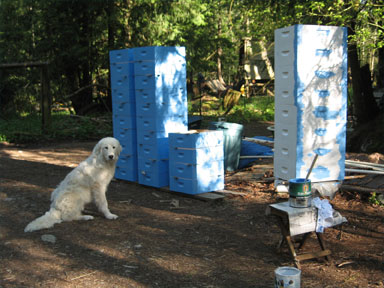 Bee Boxes being painted under livestock guard dog supervision: Brookfield Farm, WA