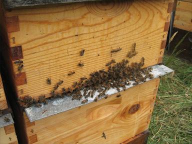 Cloak Board Slide in place on a a Honeybee Queen Cell Starter