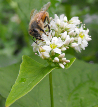 WaldenEffect.org photo (by Anna) of honeybee on buckwheat flower