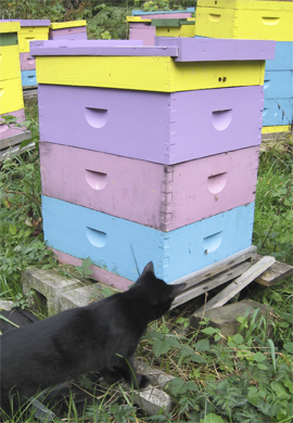 Guard Cat Checks for Mice amid Bee hives at Brookfield Farm, Maple Falls, Washington,