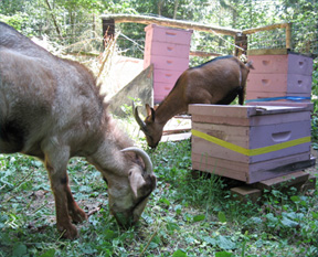 Bees and Goats - they go together at Brookfield Farm Bees And Honey, Maple Falls, Washington