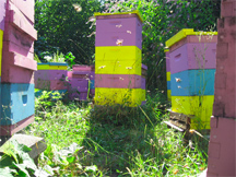 Honeybees fly at one of Brookfield Farm Bees And Honey's Bee Yards in Maple Falls, Washington