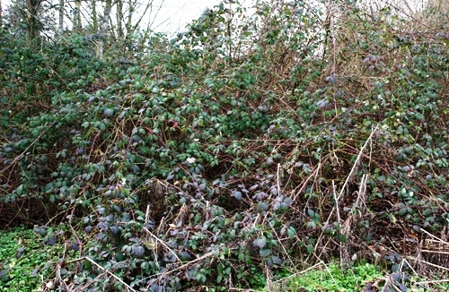 Blackberry Patch courtesy of King County Noxious Weeds Dept