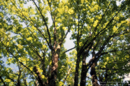Big Leaf Maple - pinhole image : photographer Karen E. Bean Brookfield Farm, Maple Falls, WA