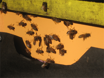 Honeybees check out the winter sun at Brookfield Farm, Maple Falls, Washington