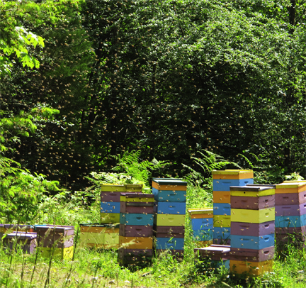 Honeybee swarm at Brookfield Farm, Washington