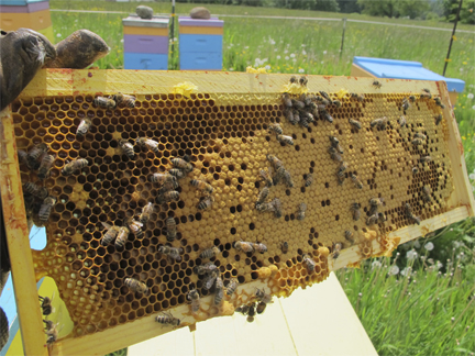 Honeybee Brood