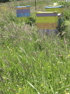 Tall grasses obscure honeybee hives