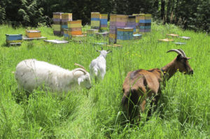 Goats by Hives at Brookfield Farm Bees And Honey, Maple Falls, Washington
