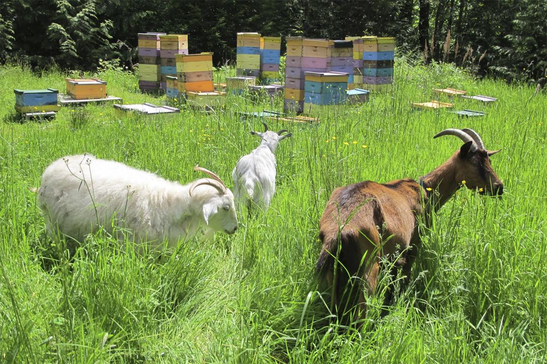 Goats by Hives at Brookfield Farm Bees And Honey, Maple Falls, Washington