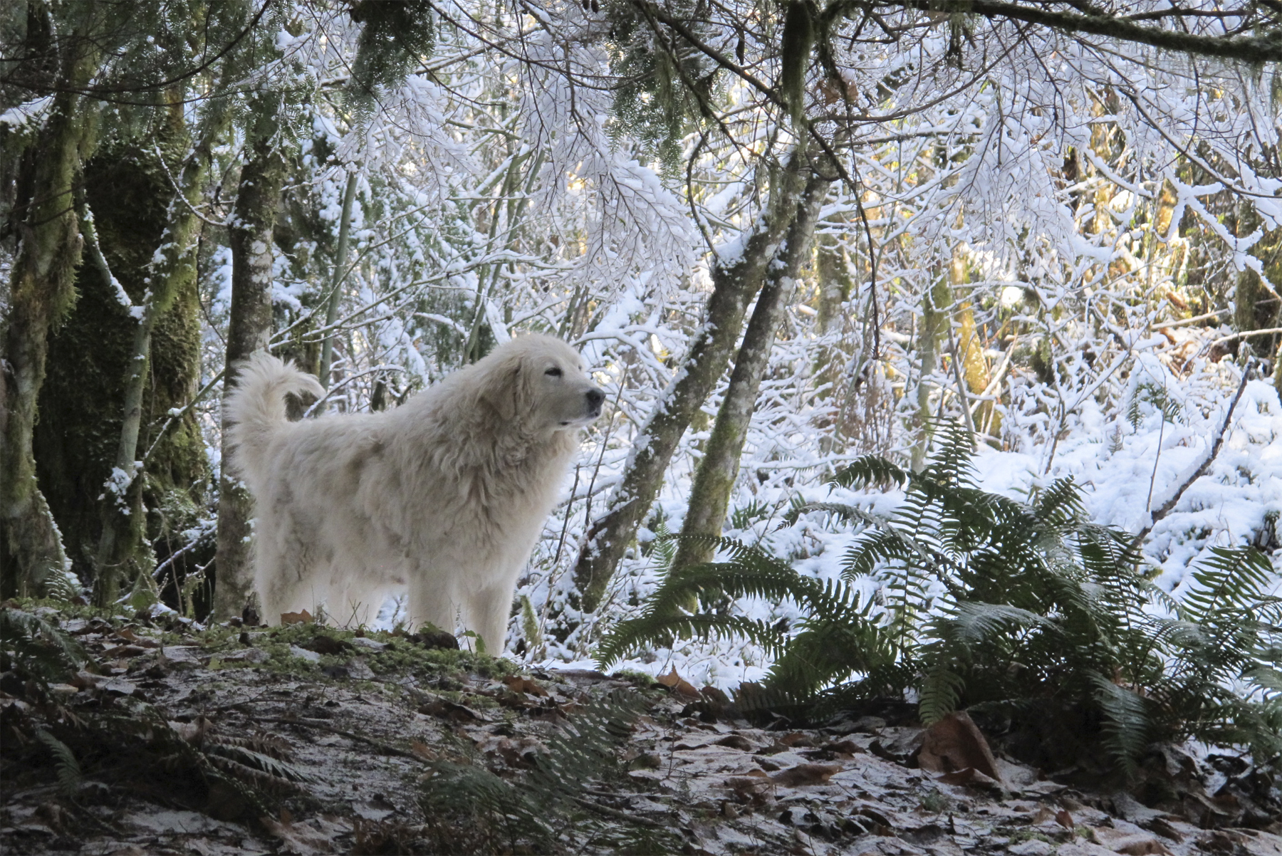 Livestock Guard Dog in winter forest at Brookfield Farm Bees and Honey, Maple Falls, WA